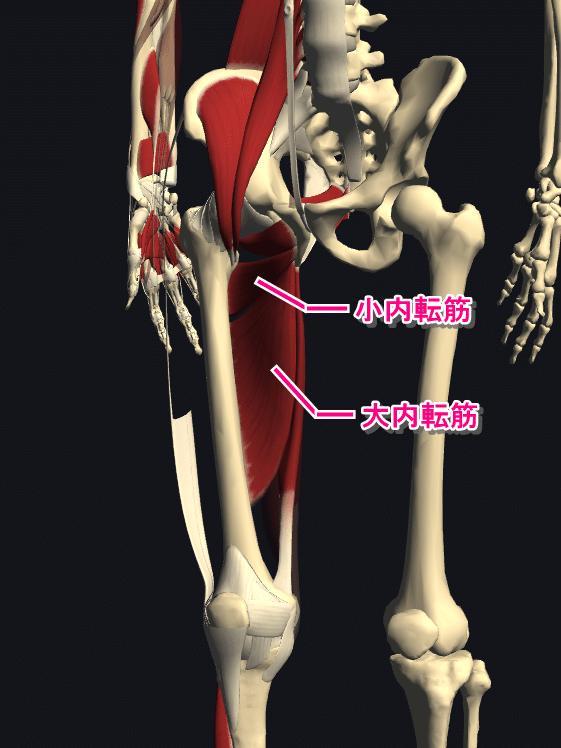 内転筋の筋肉図