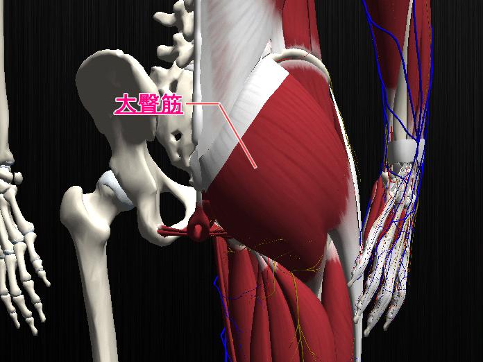 大殿筋の筋肉図