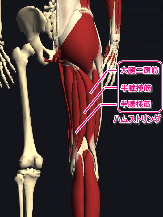 ハムストリングスの筋肉図