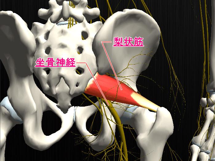 梨状筋の筋肉図